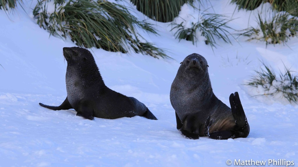 South georgia, Antarctica, Fur seals