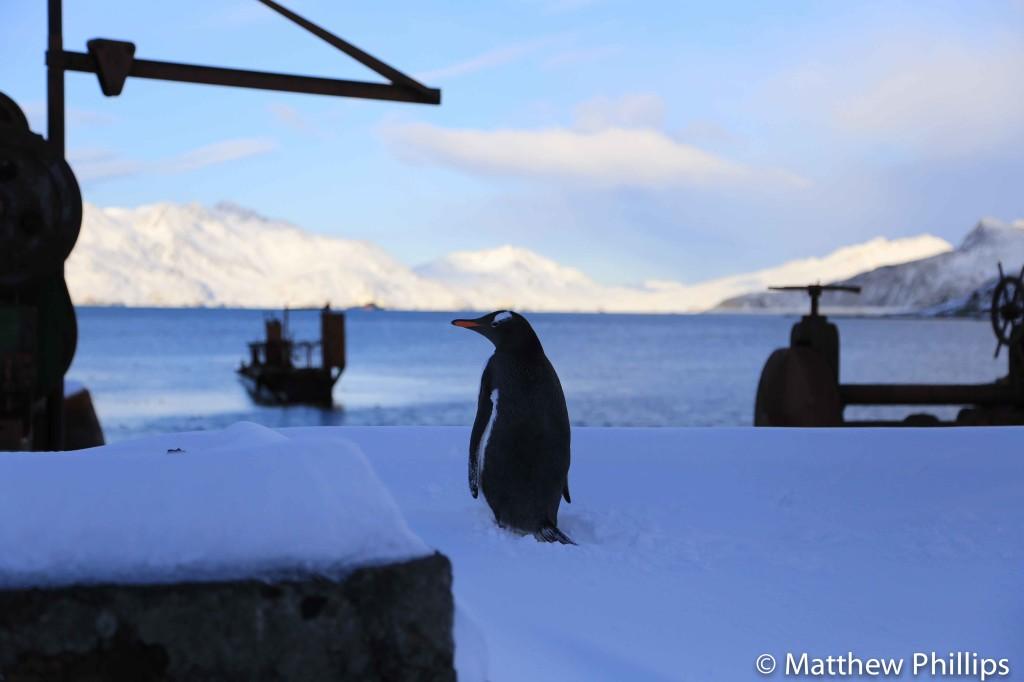 South georgia, Antarctica, Gentoo penguin
