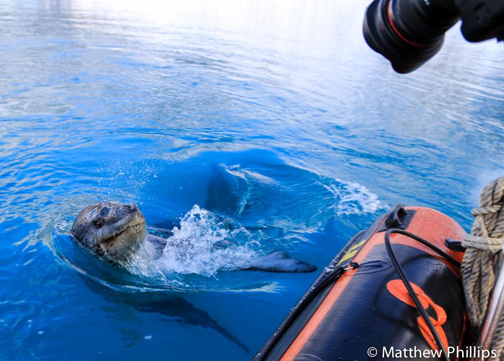 South georgia, Antarctica, Leopard seal
