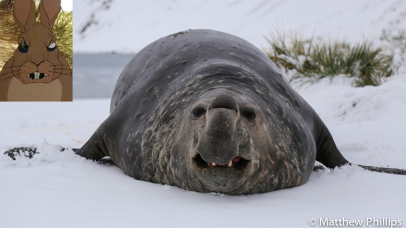 South Georgia, Antarctica, Male Elephant seal.
