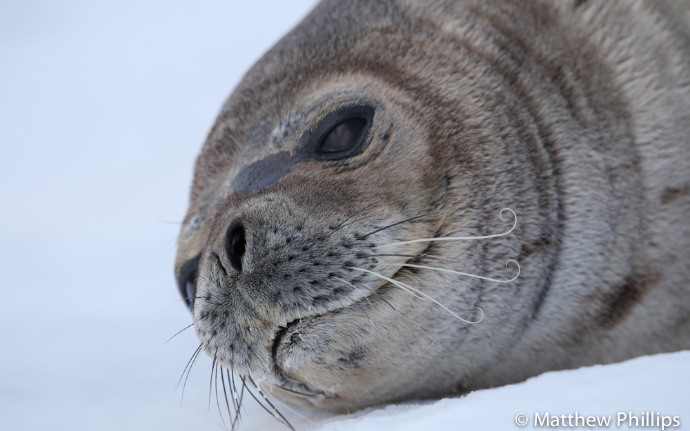 South Georgia, Antarctica Weddell seal