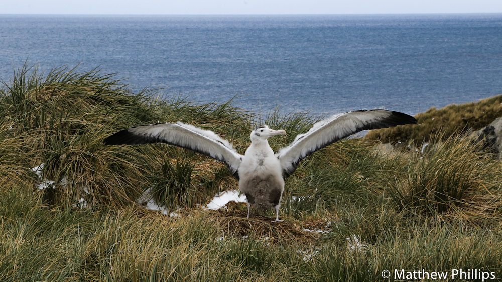 South Georgia, Antarctica, Wandering Albatross, Prion Island