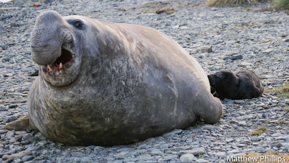 South Georgia, Antarctica Elephant seal pup suckling a male