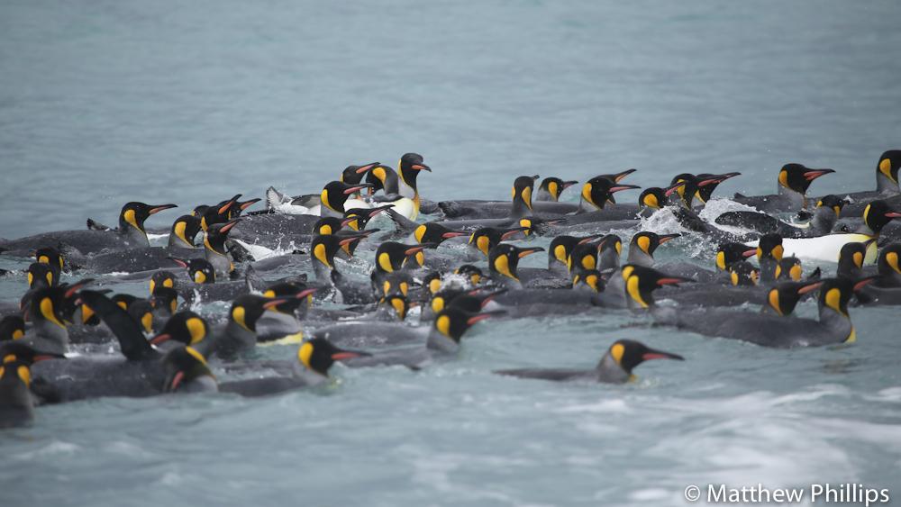 King Penguins, St Andrews Bay South Georgia.