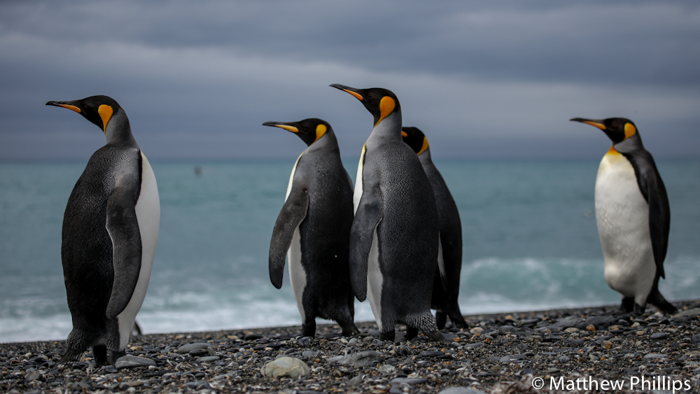 King Penguins, South Georgia.
