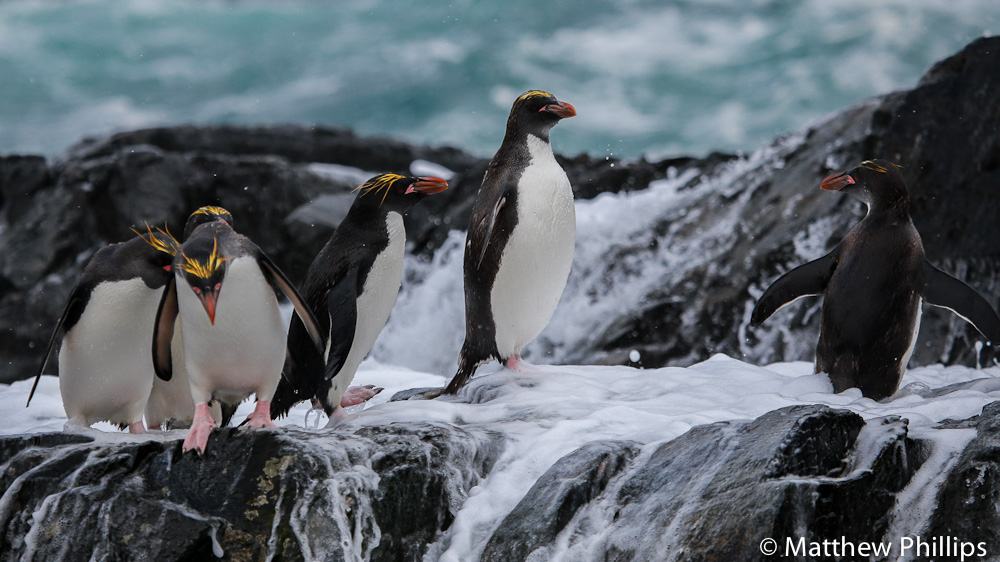 South Georgia, Antarctica, Macaroni penguin.