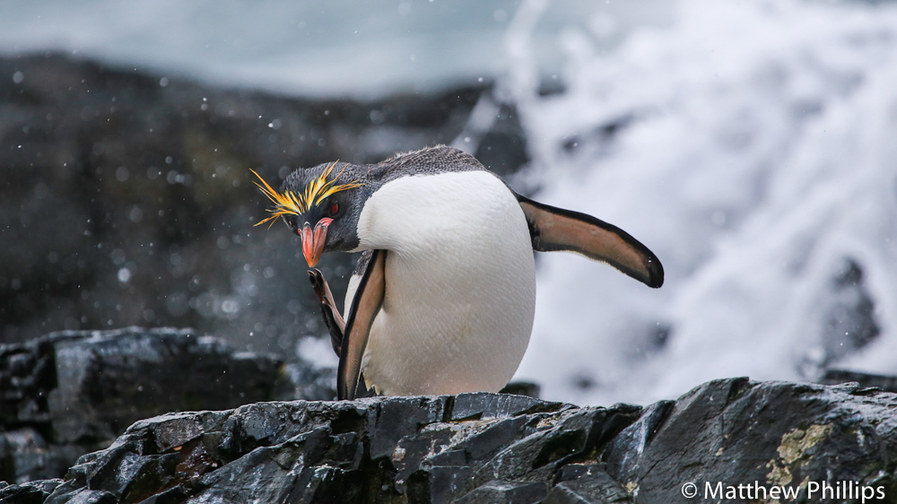 Antarctica, South Georgia, Macaroni penguin