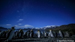 King penguins at midnight