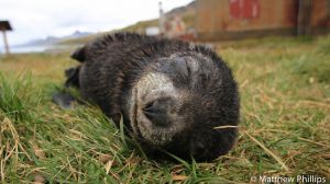 A sleeping Fur Seal pup, Grytviken.