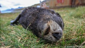 Sleeping Fur Seal pup showing some teeth, Grytviken.