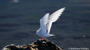 Antarctic Tern stretching its wings, King Edward Cove.
