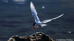 Antarctic Tern coming in to land with some food, King Edward Cove.