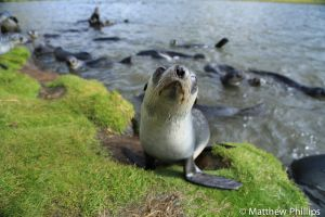 Curious Fur Seal pup edges closer, 'puppy lake', Maiviken.
