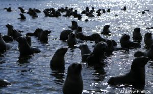 Fur Seal pups galore at 'puppy lake', Maiviken.