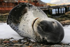 A male Leopard Seal having a stretch, Grytviken.