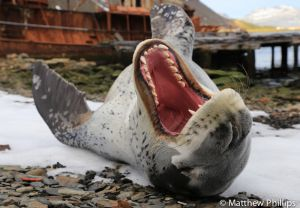 Male Leopard Seal has a stretch and a yawn, Grytviken.