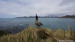 Sooty Albatross calls out, Horse Head, Penguin River.