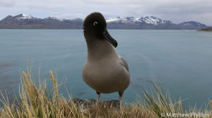 Sooty Albatross, Horse Head, Penguin River.