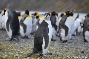 Chinstrap Penguin looking lost amongst a King Penguin colony, King Edward Point.