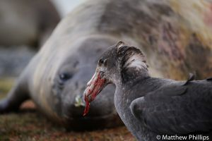 Giant Petrel feeding on Elephant seal afterbirth