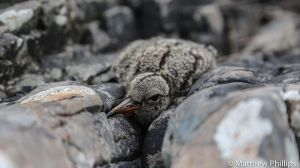 Oyster Catcher chick well camouflaged in the rocks, Isle of Raasay.