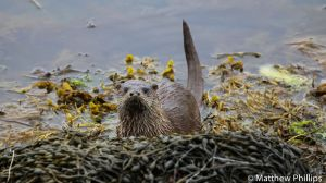 A Sea Otter catches my scent, Lochmaddy, Isle of North Uist.