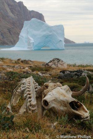 Musk Oxen skeleton.