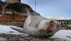 Stretching and yawning Leopard seal, Grytviken, South Georgia